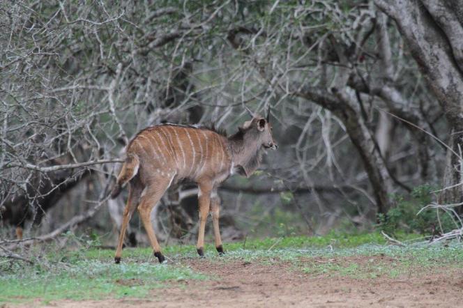 Nyala - young male