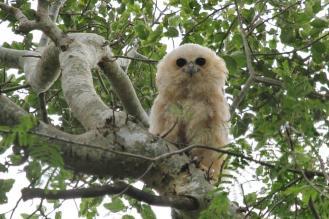 Pel's Fishing-Owl