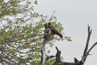 Wahlberg's Eagles in courtship