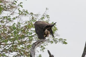 Wahlberg's Eagles procreating