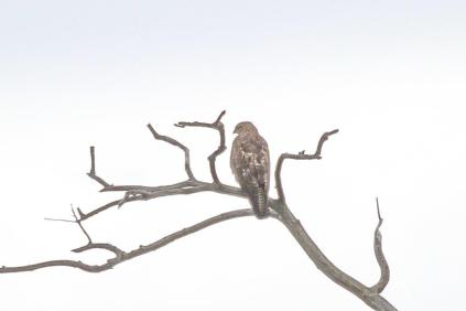 African Cuckoo Hawk - juvenile