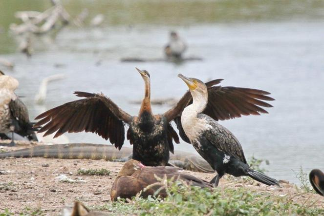 African Darter and White-breasted Cormorant enjoying the pleasures of life