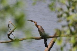 African Darter - poised just like a snake.