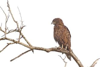 Brown Snake-Eagle looking crabby