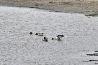 Comb Ducks at Mlondozi Dam