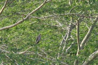 Cuckoo - to be identified - African or Red-chested.