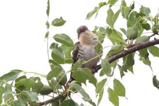 Diderick Cuckoo - female