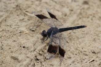 Dragonfly - with wings like a bi-plane