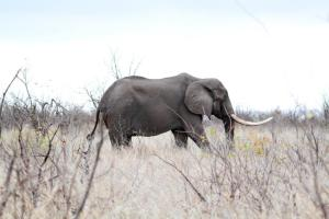 Elephant - one tusker