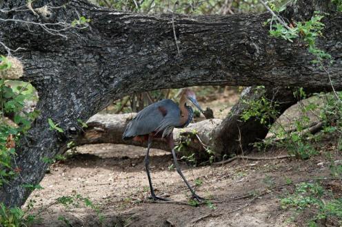 Goliath Heron - ducking