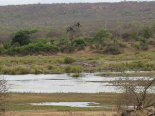 Greater Painted Snipe area - nr. Olifants with mystical tree.