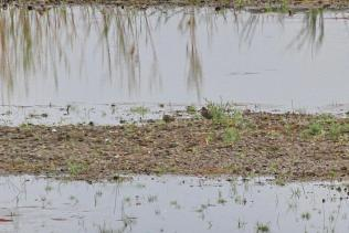 Greater Painted-Snipes - nr. Olifants