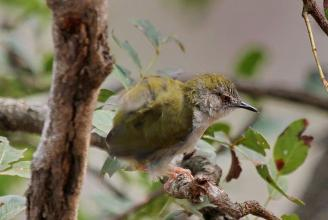 Green-backed Cameroptera