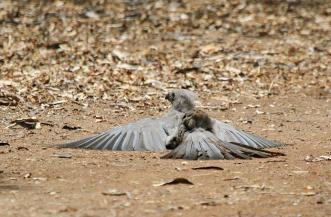 Grey Go-away-bird having a dust bath
