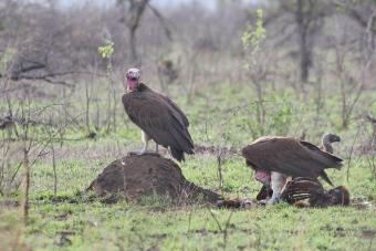 Lappet-faced and White-backed Vultures