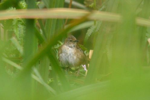 Little Rush-Warbler - Hennie