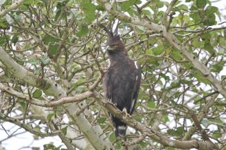Long-crested Eagle