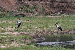 Saddle-billed Storks - juveniles