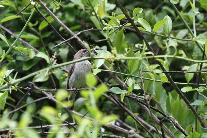 Sunbird - female