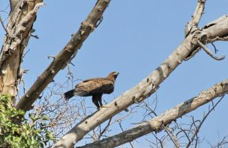 Tawny Eagle at nest