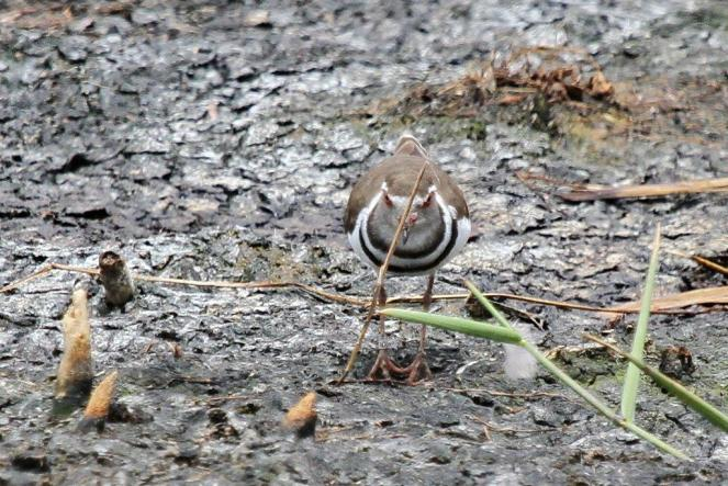 Three-banded Plover - pity about the stick
