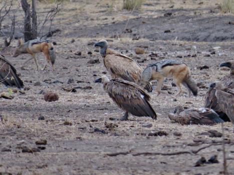 Vultures and Jackals