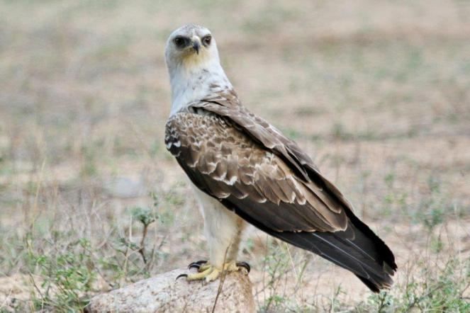 4 Wahlberg's Eagle - pale phase -Skukuza