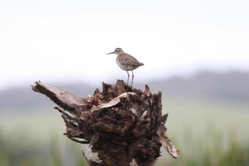 Wood Sandpiper surveying his realm
