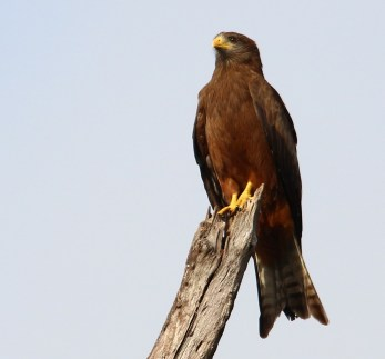 Yellow-billed Kite -Mike Caine
