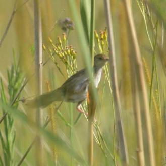 Little Rush-Warbler - Decklan