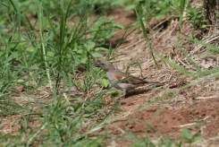 Southern Grey-headed Sparrow