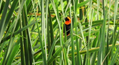 Southern Red Bishop -Penny de Vries