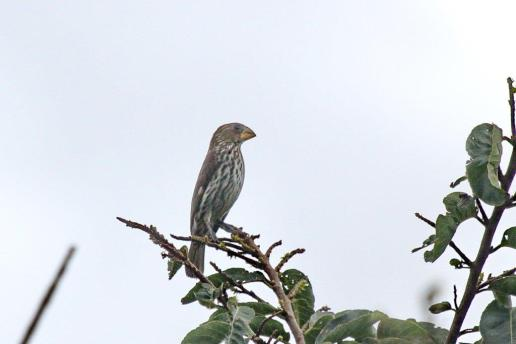 Thick-billed Weaver