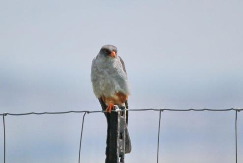 Amur Falcon - male