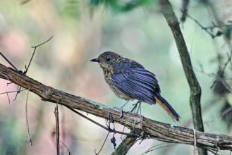 Chorister Robin-Chat - juvenile