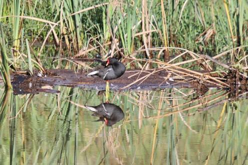 Common Moorhen in reflective mood.