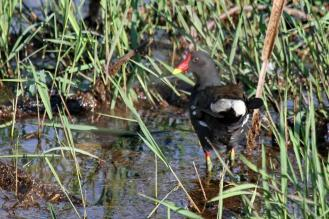 Common Moorhen - white-tailed