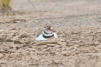 Three-banded Plover on nest