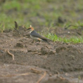 Greater Striped Swallow - Decklan