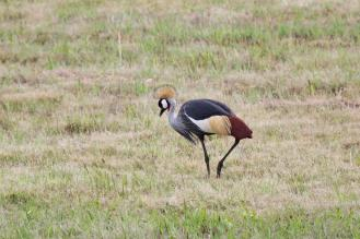 Grey-crowned Crane hobbling.