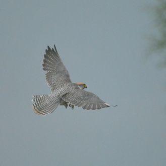 Lanner Falcon - Decklan