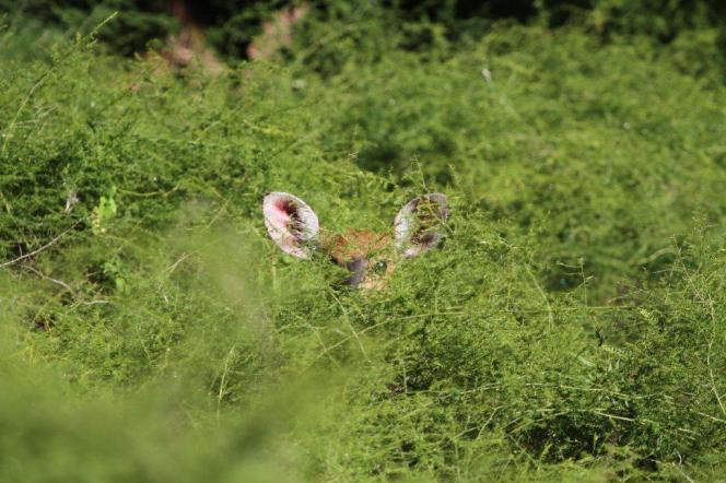 Peek-a-boo - Bushbuck