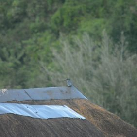 Pied Kingfisher - Decklan