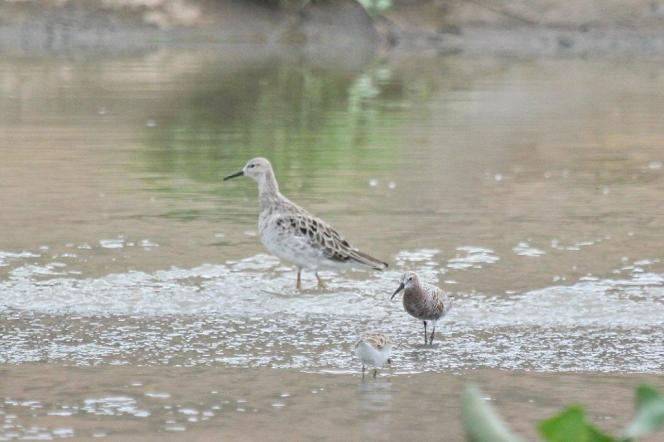 Ruff, Little Stint and Curlew Sandpiper changing