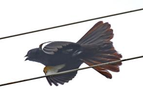 White-winged Widowbird