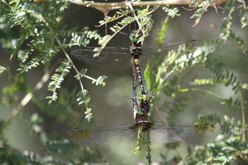Two Dragonflies locked together