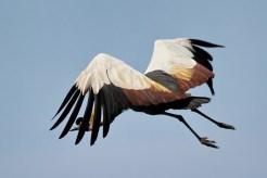 Grey-crowned Crane