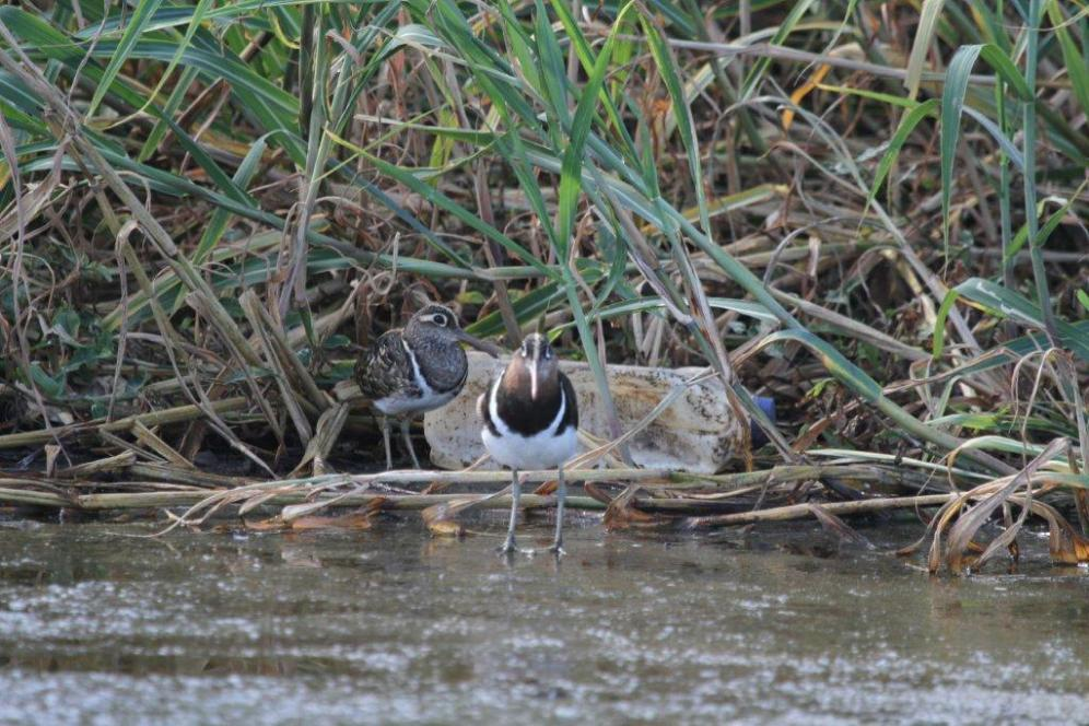 Greater Painted Snipe - male and female