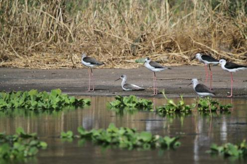 Black-winged Stilt - adults and juvenile