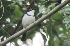Black-throated Wattle-eye - female